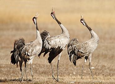 Common Cranes singing, Spain