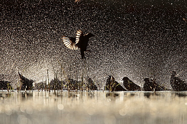 Spotless Starling group flying and bathing backlig, Spain