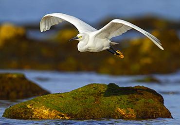 Little Egret fishing in flight, Spain
