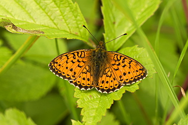 Lesser Marbled Fritillary on leaf, Denmark
