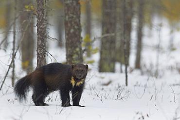 Wolverine standing on snow in woodland wetlands, Finland