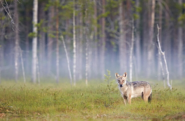 Grey Wolf in the morning mist, Finland