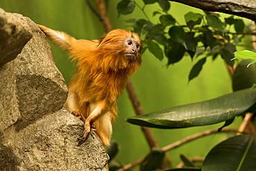 Golden Lion Tamarin on a rock
