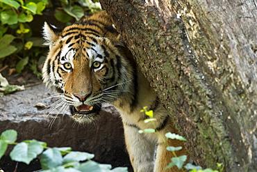 Portrait of Siberian Tiger