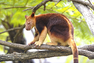 Tree kangaroo Goodfellow on a branch, Australia
