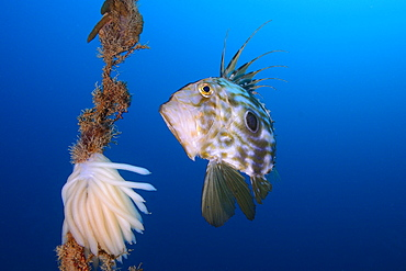 John Dory and spawning Squid, Mediterranean Spain