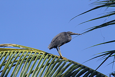 Pacific reef egret  resting on palm Coco, Bali Indonesia