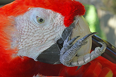 Portrait of Scarlet Macaw grooming, Bali Indonesia