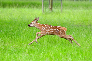Red deer fawn running in a meadow in the Vosges, France