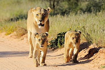 Lioness and cubs on track, Kalahari Desert Kgalagadi