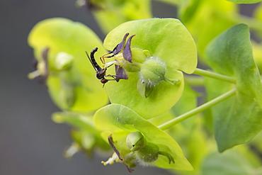 Dance Fly on flower Spurge, Massif des Maures