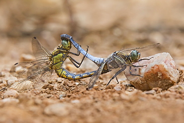 Southern Skimmer mating on ground, Massif des Maures