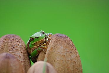 Green tree frog on Mushrooms, Ile d'Oleron France
