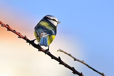 Blue tit on a branch, France