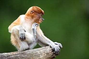 Proboscis Monkey on branch, Labuk Bay Sabah Borneo Malaysia