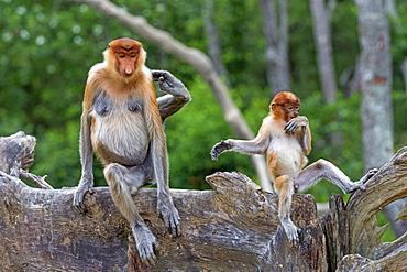 Proboscis Monkey and young, Labuk Bay Sabah Borneo Malaysia