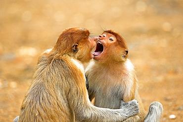 Proboscis Monkeys playing, Labuk Bay Sabah Borneo Malaysia