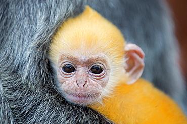 Portrait of Silvered leaf monkey -Labuk Bay Borneo Malaysia