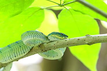 WagLer's pit viper on a branch, Bako Borneo Malaysia