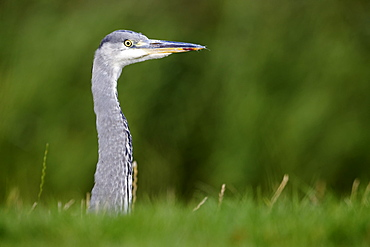 Portrait of Grey heron, Midlands UK