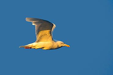 Glaucous Gull in flight, Barter Island Alaska USA