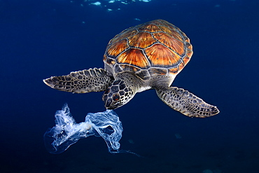 Green sea turtle trying to eat a plastic bag