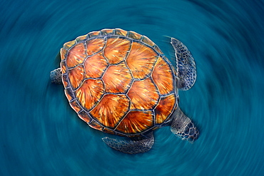 Green sea turtle on the surface, Canary islands
