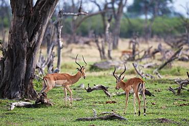 Impalas in savanna, Khwai Okavango Delta Botswana