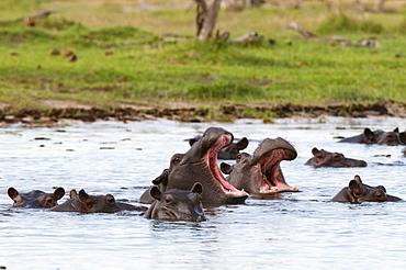Hippopotamus in water, Khwai Okavango Delta Botswana