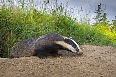 Close-up of a badger coming out of its set in summer GB