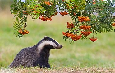 Badger looking at rowan berries in summer GB