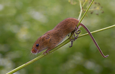 Harvest mouse on wild parsley in summer GB