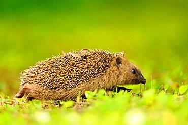 European hedgehog walking in the grass, Burgundy France