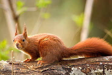 Red squirrel on a tree trunk lying, Finland