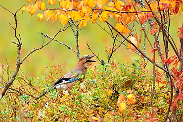 Eurasian Jay in the bushes in the autumn, Finland