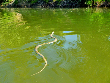 Snake swimming in the Loire river, Loire Valley France