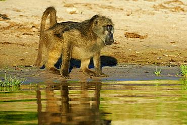 Chacma baboon drinking on bank at dawn, Chobe Botswana