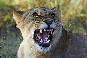 Portrait of aggressive male Lion, Botswana