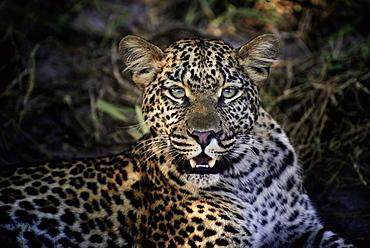 Portrait of female Leopard, Botswana Okavango