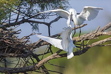 Little Egrets on a branch, Camargue France