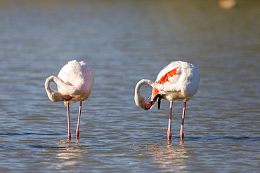 Rosy Greater Flamingos grooming in water, Camargue France