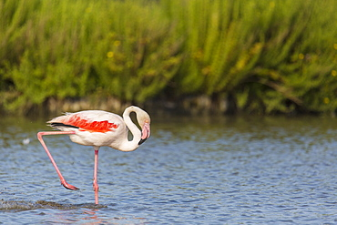Rosy Greater Flamingos walking in water, Camargue France