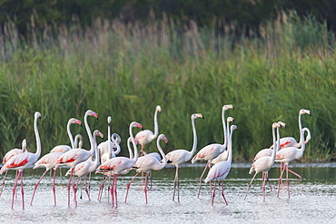 Rosy Greater Flamingos in water, Camargue France