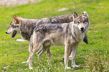 Eurasian Tundra Wolves, Wolf Park of Gevaudan France