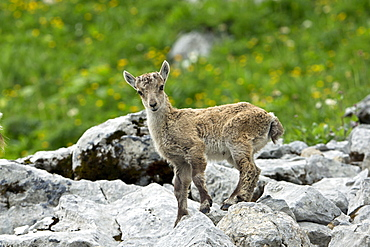 Alpine Ibex young on rock, Alps Valais Switzerland