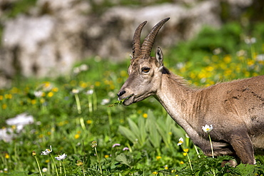 Alpine Ibex female eating, Alps Valais Switzerland