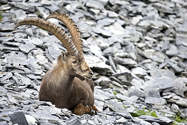 Alpine Ibex male at rest on rock, Alps Valais Switzerland