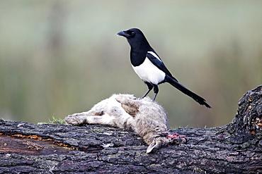 Magpie on dead rabbit, Midlands UK