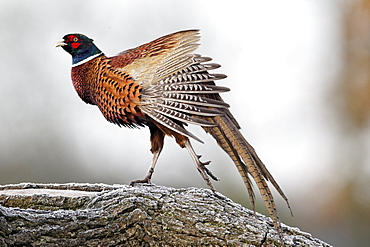 Common Pheasant male on log, Midlands UK