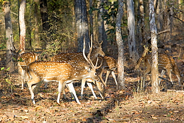Axis deer in the undergrowth, Bandhavgarh NP India